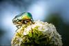 Gemeiner Rosenkäfer (rwfoto_de) Tags: makro objektive natur insekt tiere cosina10035makro fluginsekt käfer rosenkäfer cetonia aurata cetoniaaurata