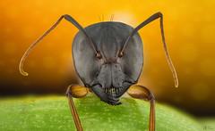 Ant (Can Tunçer) Tags: can cantunçer cantuncer canon canon6d closer macro makro macros macrophotography micro mikro makros microscop microscope lomo lomo37 lomo37x tunçer turkey turkiye türkiye tuncer izmir ikea jansö stack stacking studio setup ant bug