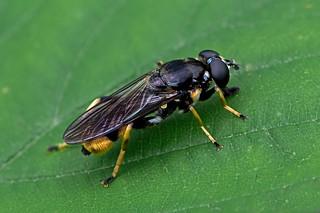 Xylota sylvarum - a hoverfly