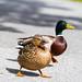 Sporty duck
