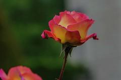 nel museo di Rodin a Paris (gianmaria.colognese) Tags: giallo rosso verde red yellow green grigio rosa fiore lower