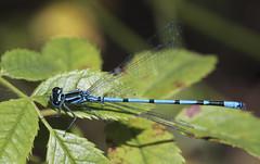 Electric blue (Jacko 999) Tags: blue canon eos 5d 1000 mm ƒ90 1160 160 beauty beaut beautiful closeup fly 100mm 100mml prime lens