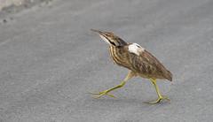 American Bittern - Butor d'Amérique (MichelGuérin) Tags: americanbittern bir bird botauruslentiginosus butordamérique maraisduquette oiseaux saintherménégilde québec canada ca