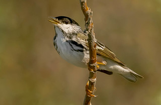 Male Blackpoll Warbler (Setophaga striata) - Nome, AK