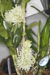 Den. Tanii 'Alba'-1 (Plinio Fabbro) Tags: flor flores orquídeas exposição rio claro flower orchids