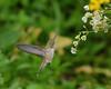AFC_8452 (thorntm) Tags: t17062201 flower hummingbird bird mdtpix nikond800 macro flickrestrellas