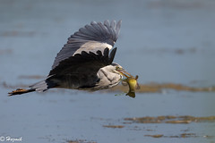 Catch of the day ! (Knutsfordian) Tags: ardea cinerea grey heron wader bird fish with tench