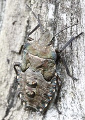 late instar Pentatoma rufipes, (BSCG (Badenoch and Strathspey Conservation Group)) Tags: acm bug hemiptera fencepost