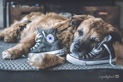 25/52 - classic.... (yookyland) Tags: 52weeksfordogs 2017 misty 2552 dog converse hightops shoes classic