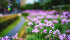 Bilbao (frederic.gombert) Tags: flower flowers light pink color colors city street cityscape macro spring summer sony