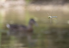PHOTOBOMB (Emily Starbug Photography) Tags: photobomb dragonfly duck flying canon7dmarkii canon100400mmmarkilens canon14xiiconverter emilystarbug first attempt