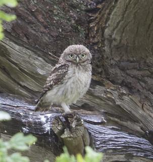 Juv Little Owl