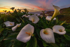 Peace & Harmony (Willie Huang Photo) Tags: sf sanfrancisco coast california californiacoast pacific ocean callalilies calla lilies flowers wildflowers sunset landscape seascape scenic nature