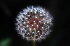 Dandelion (Graham Gibson) Tags: sigma dp3 merrill dp3m foveon x3 50mm macro new york