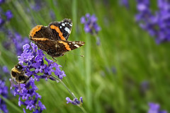 The Chase (Alfred Grupstra) Tags: insect nature butterflyinsect flower summer beautyinnature purple closeup plant animalwing greencolor macro multicolored outdoors blue animal springtime flowerbed singleflower yellow bumblebee