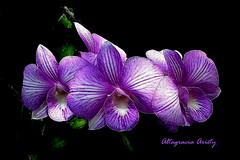 Orquídeas/Orchids/Orchidee (Altagracia Aristy Sánchez) Tags: orquídeas orchids orchidee laromana quisqueya repúblicadominicana dominicanrepublic caribe caribbean caraïbe antillas antilles trópico tropic américa fujifilmfinepixhs10 fujifinepixhs10 fujihs10 blackbackground fondonegro sfondonero altagraciaaristy