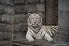 Witte tijger (Christel Schoepen) Tags: wittetijger pairidaiza dierenpark wallonie