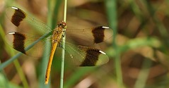 geometrie...naturali (andrea.zanaboni) Tags: linee colori geometrie nature colors nikon macro libellula dragonfly insetti insects ngc