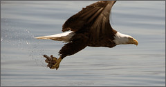 eagle beauty2 (tesseract33) Tags: tesseract33 nikon light world art ravel birds predators eagle eagles baldeagles flight sea ocean hunting water talons peterlang squamishphotographer eaglehunting peterlangphotography nikond750 d750 penderharbour