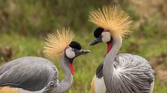 Grey Crowned Crane (ovg2012) Tags: greycrownedcrane kenyake nairobi nairobinationalpark