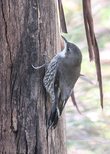 Cormobatus leucophaea leucophaea (White-throated Treecreeper) - female