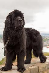 Majestic Beast (Andrea Peddle) Tags: newfoundland signalhill