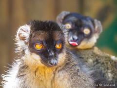 Common Brown Lemur - Eulemur fulvus (paulajie) Tags: hellville madagascar nature wildlife animal photography eulemur fulvus common brown lemur lemuria land nosy be olympus omd micro 43 fauna em10 mark ii