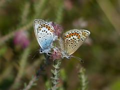 Heideblauwtje copula (capreolus) Tags: heideblauwtje silverstuddedblue plebejusargus butterflies boerenveenscheplassen drenthe holland