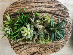succulent bowl (pbo31) Tags: livermore pleasanton eastbay alamedacounty iphone7 color july 4th summer 2017 boury pbo31 plant succulent brown green bowl indoor earth nature grow pod model plastic fake