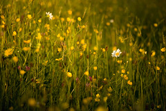 Golden (MarkE_T) Tags: flowersplants holiday lakedistrict landscape sunset smcpentaxf35135mmf3545 pentaxk1 wildflowers staveley flowers meadow