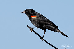 Blackbird On Small Branch (dcstep) Tags: aurora colorado unitedstates us n7a3680dxo canon5dmkiv ef500mmf4lisii ef20xtciii allrightsreserved copyright2017davidcstephens dxoopticspro114 nature bird redwingedblackbird blackbird perched ecoregistrationcase15586202651