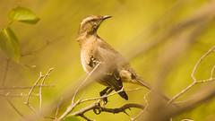 Aves en Colliguay (Miguel Ángel Gutiérrez López) Tags: colliguay quilpue aves birds nature naturaleza sky chile