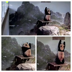 2017_07-04t1 (gkoo19681) Tags: beibei chubbycubby fuzzywuzzy reaching standingtall hopeful sotall poorbaby sosad ccncby nationalzoo