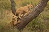 Lions of Maasai Kopjes 427 (Grete Howard) Tags: bestsafarioperator bestsafaricompany africa africansafari africanbush africananimals whichsafaricompany whichsafarioperator tanzania serengeti animals animalsofafrica animalphotos lions lioncubs maasaikopjes kopjes kopje