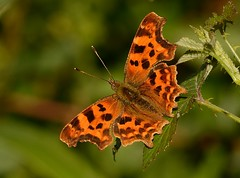 Comma Butterfly (Severnrover) Tags: insect butterfly comma uk south gloucestershire avon july 2017 butterflies lepidoptera