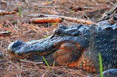 Alligator (BMADHudson) Tags: wakodahatchee wildlife wildlifephotography wako alligator animal nikon nature fantasticwildlife florida southflorida floridaphotography reptiles naturallywonderful