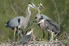 Happy Herons (Robin-Wilson) Tags: greatblueheron family nestmaintenance juvenile stick ardeaherodias attentiveparents spring 14teleconverter cropped happy colorado