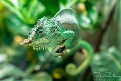 You Come and Go (philbutlerphoto) Tags: four horned chameleon lizard reptile animal wildlife green plant plants foliage branch trioceros quadricornis nikon d7100
