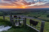 Sunset in South Downs National Park (pixiemushroom) Tags: southdowns cows sunset fields england english countryside sun grass field landscape nikon d650 sigma 2470mm28 nationalpark sussex