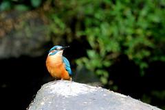martin-pêcheur d'Europe ( Alcedo atthis ) Brech 170629d2 (papé alain) Tags: oiseaux passereaux alcédinidés martinpêcheurdeurope alcedoatthis brech morbihan bretagne france