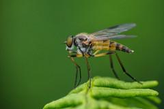 Photo of Snipefly