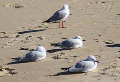 Seagulls at Port Kembla Beach (RossCunningham183) Tags: portkemblabeach beach bird wollongong australia gull silvergull seagull