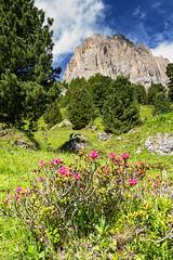 Rododendri e Sassolungo (cesco.pb) Tags: valdifassa passosella sassolungo rododendro dolomiten dolomiti dolomites alps alpi trentino trentinoaltoadige altoadige sudtirol canon canoneos60d tamronsp1750mmf28xrdiiivcld montagna mountains italia italy