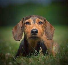 Nochmal Bonnie (Vintage lens lover (slowly catching up)) Tags: zuiko75mm18 m43 schärfeverlauf schärfentiefe dof omd olympus wiese outdoor bokeh bonnie haustier dachshund dackel hund