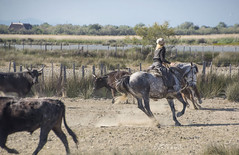 Herding in the Camargue (ChrisKirbyCapturePhotography) Tags: camargue horse camarguehorse herding guardiansofthecamargue