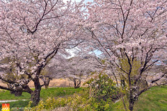 Sakura-Orchard (Nualchemist) Tags: sakura cherryblossom japan hamura tokyo travelphotography floral spring fullbloom seasonal delightful tree plant bluesky refreshing morninglight sunny palepink blue daylight branches springdelight japanese white pink warm light orchard cherryblossomorchard grasses