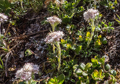 Antennaria dioica (DigPeter) Tags: antennariadioica asteraceae floweringplants peterphoto taxa europe grisons switzerland wildplants silvaplana che