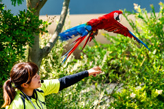 Red and Green Macaw, Rose Take-off!!! : テイクオフ!!! (Dakiny) Tags: 2017 summer june japan kanagawa yokohama asahiward park city street outdoor zoo yokohamazoologicalgardens zoorasia show birdshow people creature animal bird macaw redandgreenmacaw flight bokeh nikon d750 sigma apo 70200mm f28 ex hsm apo70200mmf28dexhsm sigmaapo70200mmf28dexhsm nikonclubit