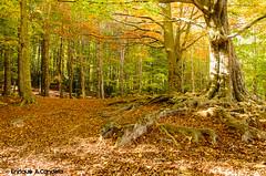 Recuerdos de otoño.. (hunter of moments) Tags: otoño ocre d7000 beautifulphoto landscape montaña bosque montseny tree arbol light luz autumn senderismo hojas
