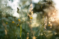 magic (ΞSSΞ®®Ξ) Tags: ξssξ®®ξ pentax k5 summer 2017 countryside hälsingland sweden perspective outdoor light magic depthoffield plant smcpentaxm50mmf17 grass bokeh evening